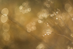 Autumn Drops ([-ChristiaN-]) Tags: water drops wasser tropfen bokeh boehlicious unschrfe dof bronze gold autumn volatile ephemerality helios helios44m2 manualfocus manuallens reflection reflexion droplet soapbubble swirlybokeh swirly vergnglichkeit herbst winter fade monochrome monochrom