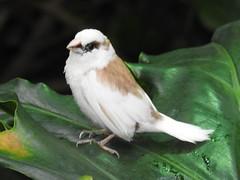 Society Finch, Lonchura domestica (34) (Herman Giethoorn) Tags: finch songbird bird animal