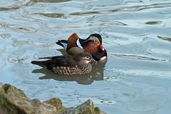 2016 02 BEAUVAL (41)_89961R Canard mandarin (Aix galericulata) (chamane45) Tags: loiretcher beauval oiseau bird pájaro canardmandarin mandarinduck patomandarín