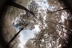 Fisheye Infrared Trees (LensbabyLindsay) Tags: infrared ir fisheye trees nature lensbaby lensbabies
