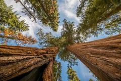 Skyscrapers (Maciek Lulko) Tags: 2016 kalifornia usa california usa2016 sequoia sequoianationalpark nationalpark californialandscapes landscape nature trees pov nikon nikond800 tamron1530 tamron