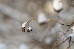 There was no wind yesterday (Tashata) Tags: macro white winter nature forest beautiful graceful explore november2016 warmcolors burntsienna burntumber snow frost dof cold lines bokeh