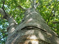Baobab Tree (Helenɑ) Tags: adansonia baobab madagascar fairchildtropicalbotanicgarden tree garden coralgables florida