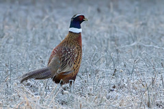Ring-necked Pheasant by Steve Gifford (Steve Gifford - IN) Tags: ring necked ringnecked pheasant rush run wildlife area preble county oh ohio steve steven gifford oxford nature bird picture photo photograph