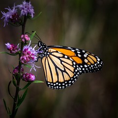 Purple Slurp (Portraying Life) Tags: michigan unitedstates handheld closecrop meadow wildflower
