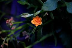 (colorinspirit) Tags: yinyang bright petals waterdrops minimalism homeflowers dusk orange flower dew