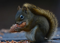 Tastes Like Corn on the Cob - Red Squirrel Enjoying a Pine Cone - 7050b+ (teagden) Tags: american red squirrel redsquirrel pinecone pine cone eating jenniferhall jenhall jenhallphotography jenhallwildlifephotography wildlifephotography wildlife wild nature photography naturephotography nikon cute