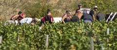 the grape harvest (charlesgyoung) Tags: beaujolais lyon nikonfx nikon d810 winery travelphotography vikingrivercruise charlesyoung vinyard harvest grapes wine