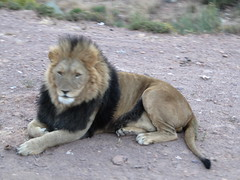 Lwe_4 (@ FS Images) Tags: lwe langemhne liegend rudelfhrer canon eos 600d outdoor landschaft natur raubtier rudel sdafrika safari tiere lwen