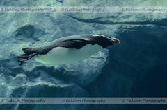 A Different Kind of Flying (ficktionphotography) Tags: arctic birds penguin tarongazoo water waterworld zoophotography