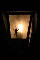 """""""El llum del menjador"""" de Josep Rost (somnatus) Tags: categoria concurs concurso fotografia foto natura naturalista ang girona naturalistes dragó dragón reptil"""