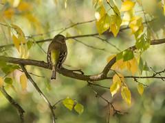 12112016-_B125911 (lefoudulabo) Tags: aves birds commonchaffinch fringillacoelebs fringillidae fringillids oiseaux passriformes pinsondesarbres
