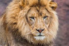Lion King. (www.sergeybidun.com) Tags: animal lion king big cat strong
