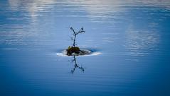 Circling the Drain (maytag97) Tags: maytag97 idaho drain waterdrain pond lake twig branch leaves whirlpool artistic calm abstract serene ripple