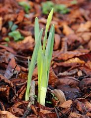 Daffodils awake (harve64) Tags: antobar county meath navan ireland daffodils awake