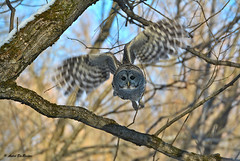 Chouette raye / Barred owl (Andr DesRosiers) Tags: chouetteraye barredowl oiseau bird nature wildlife domainemaizerets quebeccity qubec
