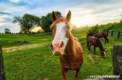 09-15-2014-19pm-06-31-050--NIKON D7000-344 1-device-2000-wm (iSuffusion) Tags: bloomfield d7000 kentucky tokina1224mm animals bardstown horses nikon sunset unitedstates us