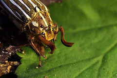 Tenlined June beetle (YuccaYellow) Tags: life ca wild june nikon san diego beatle r1c1 tenlines