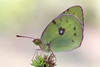 Hufeisenklee Gelbling - Goldene 8 (Colias alfacariensis)_Q22A8235-BF (Bluesfreak) Tags: insekten schmetterlinge hardheim coliasalfacariensis tagfalter hufeisenkleegelbling goldene8