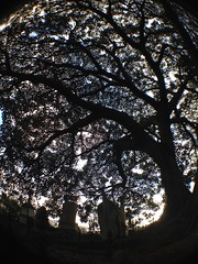 fig tree (damdiv) Tags: cemetry tree fig headstone fisheye notdeadyet moretonbayfig olloclip