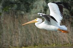 Flying Pelican (ardeth.carlson) Tags: lake bird nature flying pelican