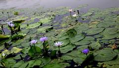 IMG_4201 (singaporeplantslover) Tags: nymphaea   lotus