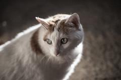 Posing Cat (twinsfan7777) Tags: light sun nature sunshine animal cat canon fur eyes feline nap posing