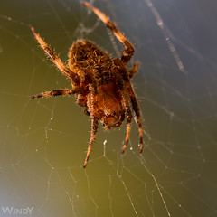 Spider in the kitchen (Zoo Much Information) Tags: light brown green spider big furry web huge czyn7fo youknowyoucanaddtagsright