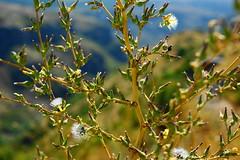 fioritura (enrico sprea) Tags: valle armenia campo sole fiore albero paesaggio controluce pianta arbusto allaperto fioritura cespuglio asiaminore ramoscello infiorescenza aragatsotn pentaxlife cespo    hayastani caucasomeridionale valleambert