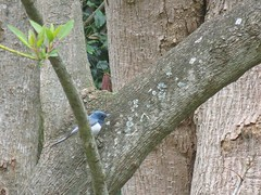 Myiagra rubecula 2 (barryaceae) Tags: taree new south wales australia australian bird birds aves australianbirds ausbirds ausbird leaden flycatcher myiagra rubecula booroowhangary 6989 the bucketts way nsw