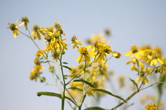 The Simple Beauty of Yellow (eyriel) Tags: flower macro nature geocaching bokeh hike wildflower yello