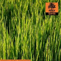 Flowering Rice ข้าวตั้งท้อง