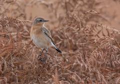 The Last of the Wheatears (steb1) Tags: bird wheatear 2015 oenantheoenanthe northernwheatear passerine whixallmoss tamronsp150600mmf563