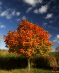 Fall Color (Mark Kaletka) Tags: autumn orange color fall leaves maple