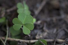 Detalles Miniatura (Jos Ramn de Lothlrien) Tags: macro flora shamrocks shamrock trebol treboles hierbas