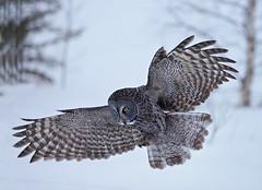 Great Grey (Peter Stahl Photography) Tags: winter snow birds outdoors greatgreyowl owls birdofprey greatgrayowls