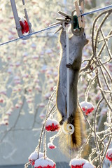Stretch! (diffuse) Tags: squirrel feeder hanging clothesline 115 redsquirrel 15dec17a
