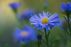 Aster (stefan_zwi) Tags: park blue wild plants white blur flower color colour macro cute green texture nature floral beauty field grass yellow closeup garden outdoors photography flora colorful soft colours bokeh gardening outdoor head vibrant background magic small hell pflanze petal growth gelb single micro bunch bloom backgrounds grn lush blau delicate botany blume garten depth muster f28 freshness aster blooming schrfentiefe 105mm bltenblatt textur offenblende organisches