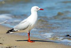silver gull - lake bonney,  S australia (Russell Scott Images) Tags: southaustralia barmera lakebonney silvergullchroicocephalusnovaehollandiae