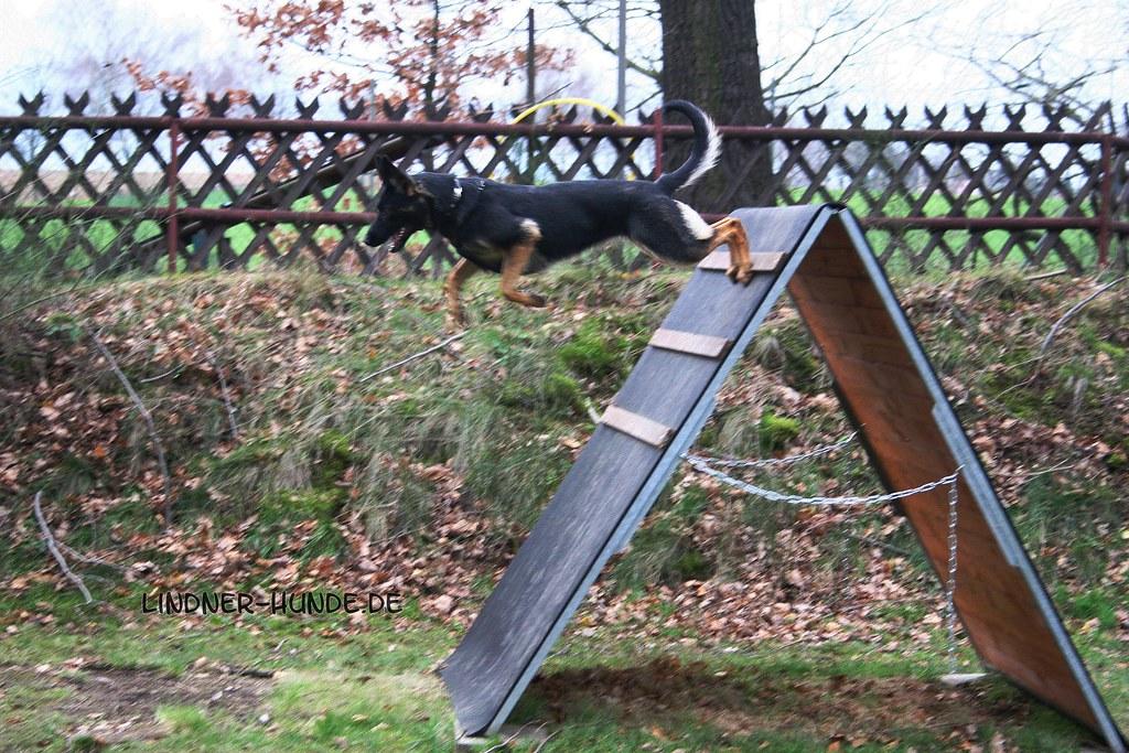 Deutscher schaferhund unterordnung
