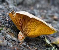 Rovelló (Bárbara L.F.) Tags: milkcap mushroom seta bolet níscalo rovello