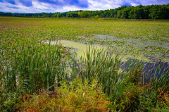 Last bit of summer (trinaclifford) Tags: landscapes landscapecaptures landscapephotography naturalbeauty nature naturelover naturephotography lilypond sideoftheroad green nikond7000 ngc sodusbay
