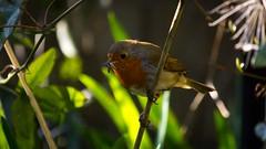 The late bird catching the worm (DrScottA) Tags: robin robinredbreast europeanrobin nature wildlife bird london garden