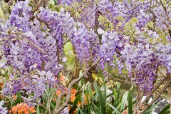 wisteria festival (Val in Sydney) Tags: wisteria nsw australia australie festival parramatta fleur flower glycine