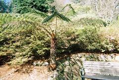 A short tree fern (Matthew Paul Argall) Tags: rhododendrongardens singleusecamera disposablecamera fixedfocus 800speedfilm 800isofilm kodak800 kodakfilm kodakflash treefern ferntree fern plant plants unlimitedphotos