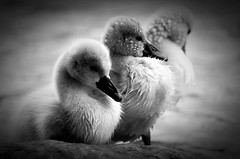 three little swans (fotomnni) Tags: tierfotografie tiere tier tierkinder animals animaux schwan swan cygne schwarzweis blackwhite noirblanc manfredweis