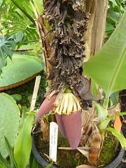Musa acuminita 7 (heinvanwinkel) Tags: 2012 banaan bloemvandedag commelinids euphyllophyta hortus juni leiden liliopsida magnoliophyta mesangiospermae musaacuminata musaceae nederland petrosaviidae spermatophyta tracheophyta zingiberales
