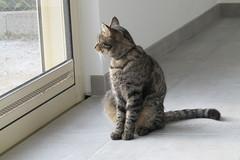 Cat watching the garden... (*SHERWOOD*) Tags: france vende larochesuryon home veranda cat timinou nibble