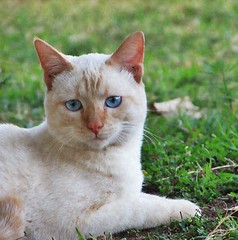 Ghost (CatnessGrace) Tags: siamese siamesecats siamesekittens whitecats cats kittens whitekittens painterly catportraits portraits felines felineportraits chats katzen neko gatos gatti gato gatto katze