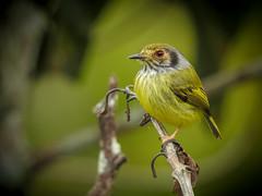 Myiornis auricularis (Aisse Gaertner) Tags: myiornisauricularis birdwatching bird brazil birdwatcher blinkagain birds p900 nikon coolpix